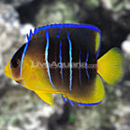 Caribbean Blue Angelfish Juvenile (click for more detail)