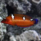 Cuvier's Coris Wrasse, Juvenile (click for more detail)