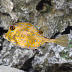 Caribbean Scrawled Trunkfish (click for more detail)