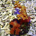Silk Flower Tree Coral [Expert Only] (click for more detail)