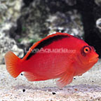 Flame Hawkfish (click for more detail)