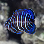 Bali Captive-Bred Annularis Angelfish Juvenile (click for more detail)