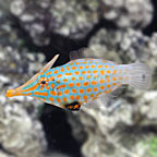 Orange Spot Filefish Male [Expert Only] (click for more detail)