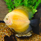 Yellow Marlboro Discus (click for more detail)