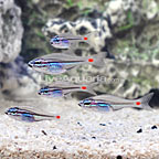 Red Spot Glass Cardinalfish (5 Lot) (click for more detail)