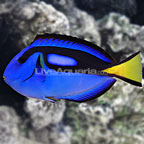 Large Blue Tang (click for more detail)