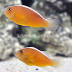 ORA® Captive-Bred Orange Skunk Clownfish (Select Pair) (click for more detail)