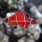 Tanaka's Pygmy Possum Wrasse (click for more detail)