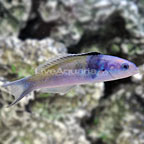 Bluehead Wrasse Initial Phase (click for more detail)