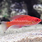 Royal Flasher Wrasse Initial Phase (click for more detail)