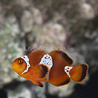 Captive-Bred Lighting Maroon Clownfish (Single) (click for more detail)