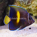 Bali Aquarich Captive-Bred Maculosus Angelfish Transitioning (click for more detail)
