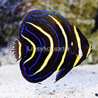 Cortez Angelfish Juvenile (click for more detail)