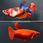 Candy Plakat Betta (Pair) (click for more detail)