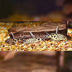 Synodontis Multipunctatus Catfish (Group of 3) (click for more detail)