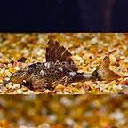 Hypostomus (L-229) Plecostomus (click for more detail)