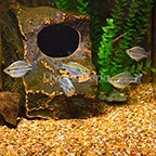 Dwarf Kamaka Rainbowfish (Group of 5) (click for more detail)