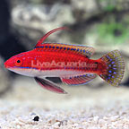 Social Fairy Wrasse Terminal Phase Male (click for more detail)