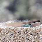 Two Spot Bimaculatus Blenny (click for more detail)