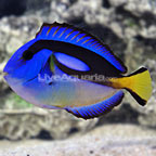 Yellow Belly Blue Tang (click for more detail)