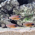 Ring-Tailed Cardinalfish (Trio) (click for more detail)