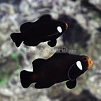 ORA® Domino Clownfish (Select Pair) (click for more detail)