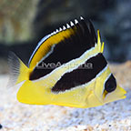 Mitratus Butterflyfish  (click for more detail)