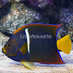 Passer Angelfish  (click for more detail)