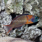 Saddle Wrasse Terminal Phase Male (click for more detail)
