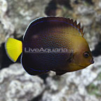 Bluespotted Angelfish Adult (click for more detail)