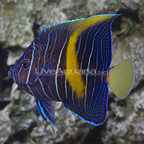 Maculosus Angelfish Changing (click for more detail)