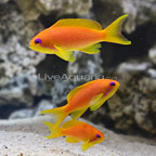 Lyretail Anthias (Female Trio) (click for more detail)
