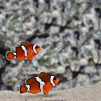 ORA® Captive-Bred Misbar Blood Orange Clownfish Hybrid (Select Pair) (click for more detail)