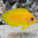 Lemonpeel Angelfish (click for more detail)