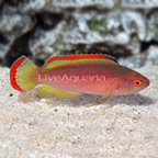 Pink Margin Fairy Wrasse Terminal Phase Male (click for more detail)