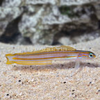 Lined Dartfish (click for more detail)