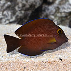 Squaretail Bristletooth Tang Juvenile (click for more detail)