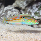 Goldstripe Wrasse (click for more detail)