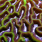 Aussie Worm Brain Coral (click for more detail)