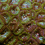 Favia Brain Coral Indonesia (click for more detail)
