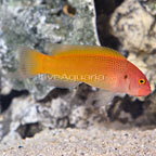 Jaguar Dottyback Male (click for more detail)