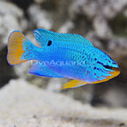 Orangetail Blue Damselfish Male (click for more detail)