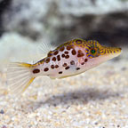 Leopard Toby Puffer (click for more detail)