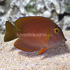 Squaretail Bristletooth Tang  (click for more detail)