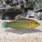 Melanurus Wrasse Initial Phase (click for more detail)