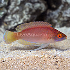 Vanuatu Pyle's Fairy Wrasse Terminal Phase Male (click for more detail)