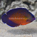 Madagascar Tiger Tail Coral Beauty Angelfish (click for more detail)