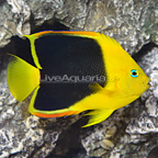 Rock Beauty Angelfish (click for more detail)