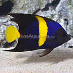Red Sea Asfur Angelfish (click for more detail)