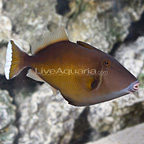 White Tip Triggerfish (click for more detail)